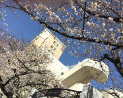 東桜幼稚園のさくら