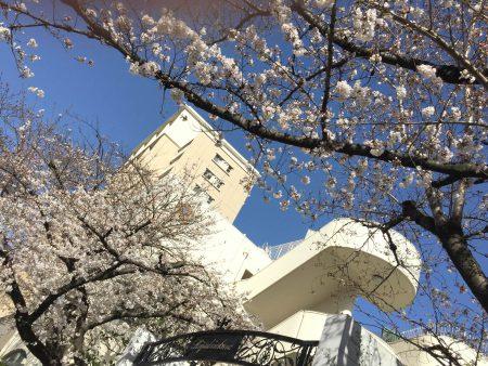 名古屋市で桜が開花しました